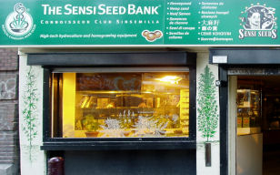 sensi seeds amsterdam coffeeshop directory. Black Bedroom Furniture Sets. Home Design Ideas